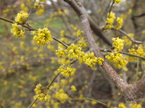 ボウボウの黄色い花の木