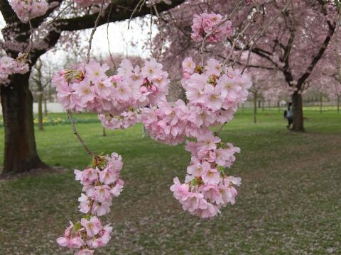 桜の庭10