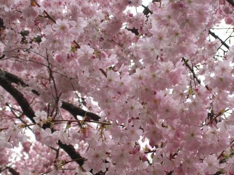 桜の庭14