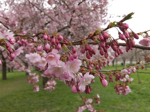 桜の庭11