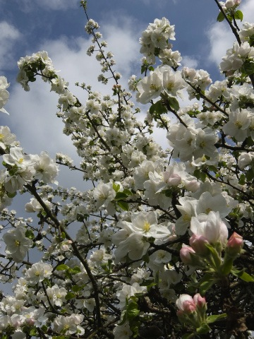 リンゴの花3