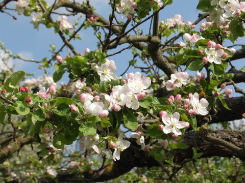 りんごの花1