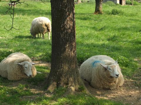 Aichwaldの羊1