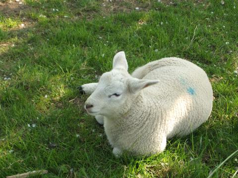 Aichwaldの羊2