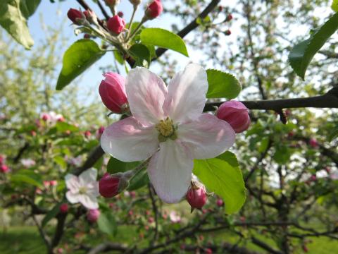 Aichwaldのリンゴの花