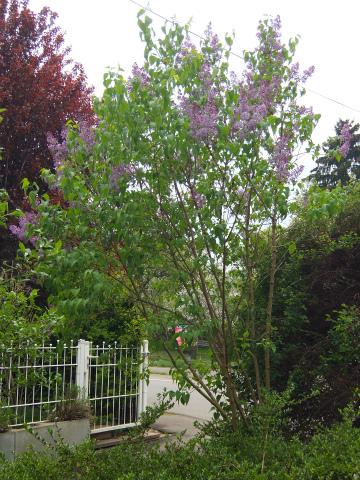庭のライラック1
