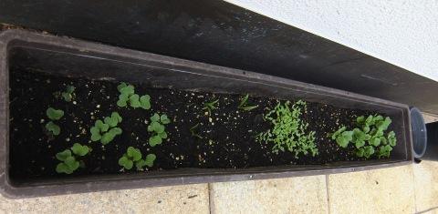 家庭菜園10日後