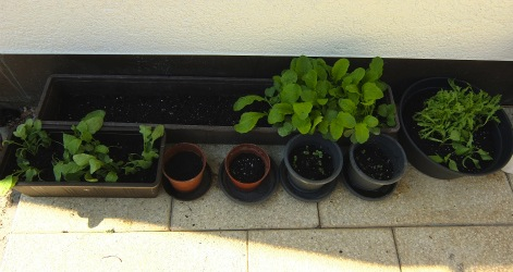家庭菜園2014-4