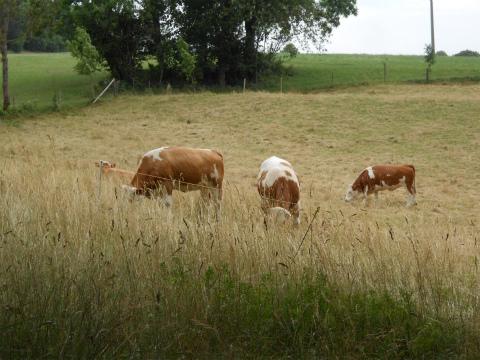 Aufhausenの牛