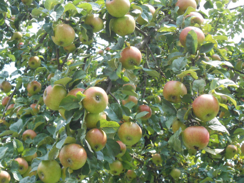 ボウボウのリンゴ