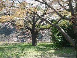 乾通りの桜①