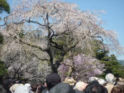 乾通りの桜②