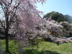 乾通りの桜③