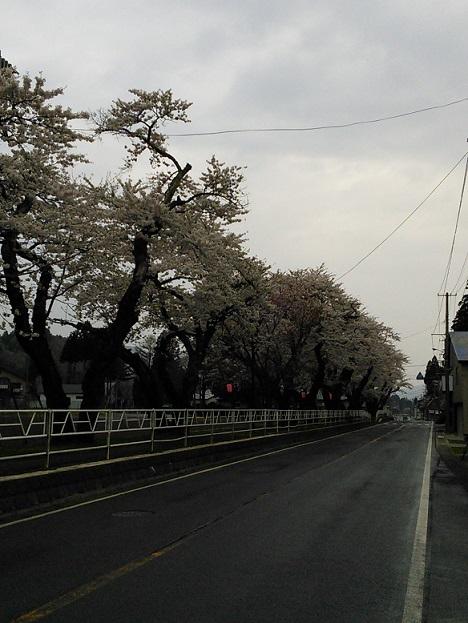 西和賀町の桜