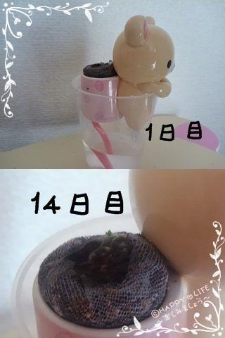 ちこちゃんのワイルドストロベリープチ栽培観察日記★2★-2