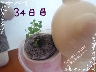 ちこちゃんのワイルドストロベリープチ栽培観察日記★2★-4