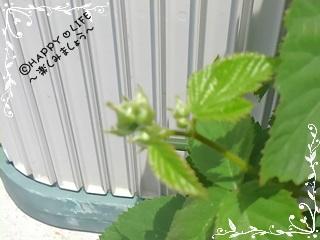 ちこちゃんのブラックベリー観察日記★3★みょ~ん-4