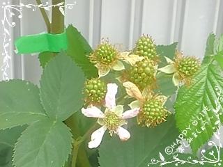 ちこちゃんのブラックベリー観察日記★5★お花のあとは・・・-2