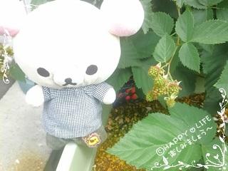 ちこちゃんのブラックベリー観察日記★5★お花のあとは・・・-3