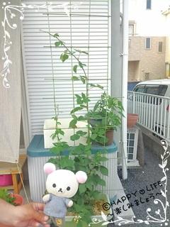 ちこちゃんのブラックベリー観察日記★6★成長中~-1