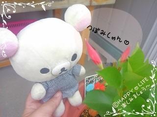 ちこちゃんのプランターガーデニング観察日記★13★サンパラソル-2