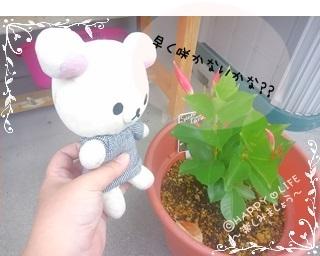 ちこちゃんのプランターガーデニング観察日記★13★サンパラソル-4