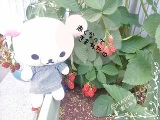 ちこちゃんのブラックベリー観察日記★8★収穫はいつかな?-2