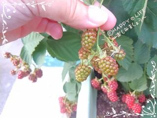 ちこちゃんのブラックベリー観察日記★8★収穫はいつかな?-5