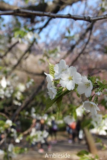 IMG_9129 白桜