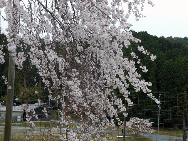 sakura-01-5.jpg