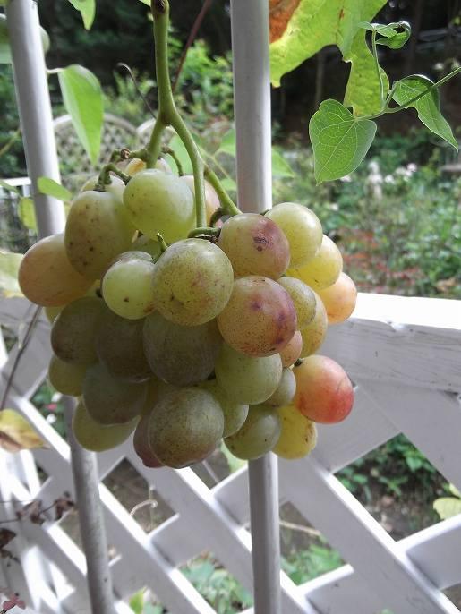 grape 018