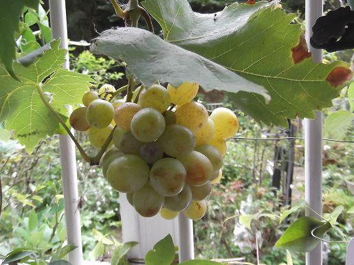 grape 009
