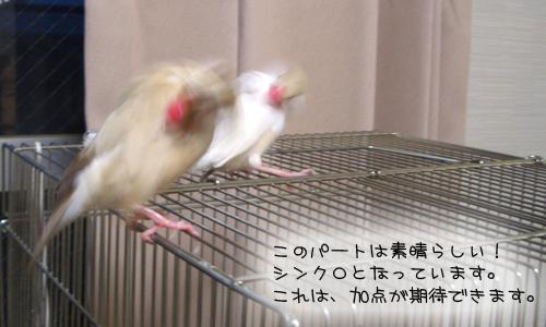 文鳥シンクロダンス選手権_4