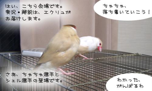 文鳥シンクロダンス選手権_1