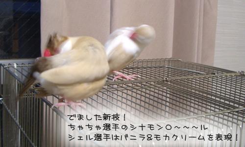 文鳥シンクロダンス選手権_6