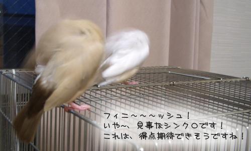 文鳥シンクロダンス選手権_7