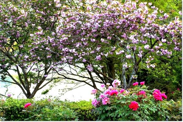 牡丹とボタン桜