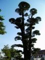 JR袋井駅 マキの木
