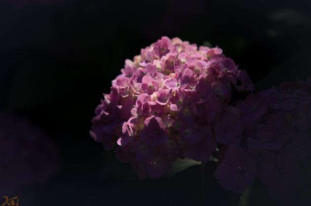 20140614紫陽花_能護寺04