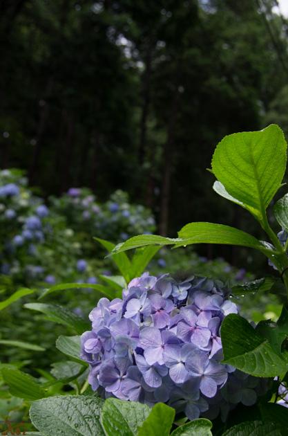 20140629紫陽花_太平山12
