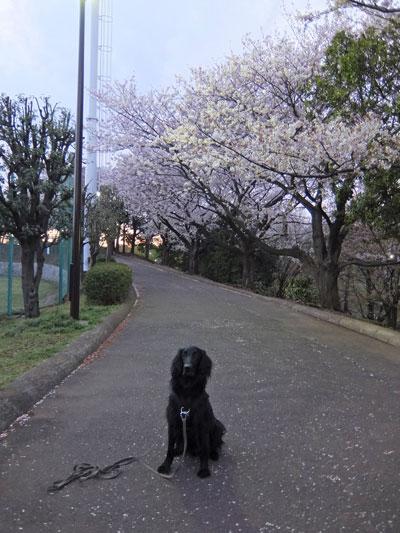桜2014