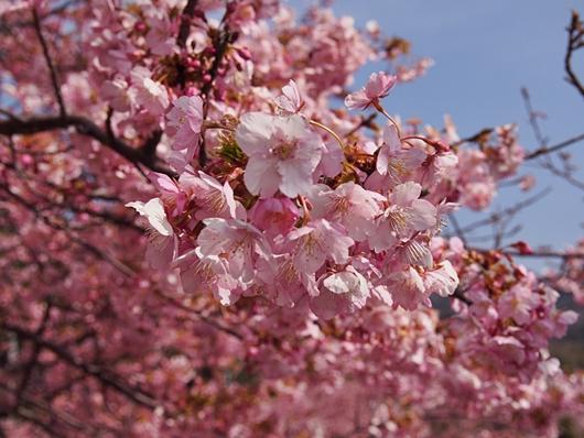 kawazu-20140226-04s.jpg