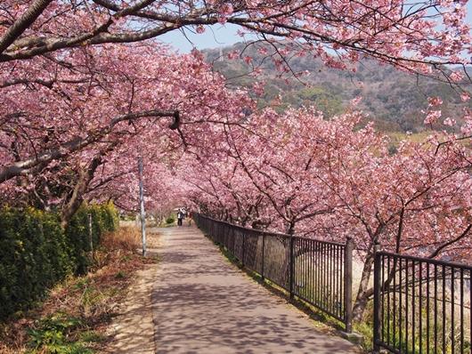 kawazu-20140226-07s.jpg