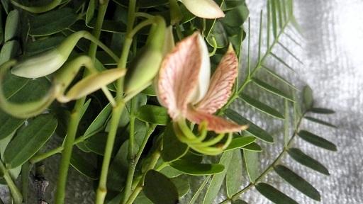 tamalindflower.jpg