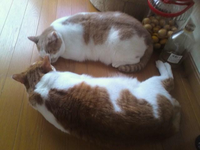 べったり兄弟猫