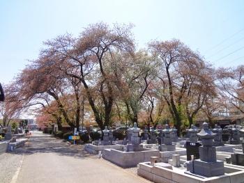 桜目当てに散歩しました [墓地編]