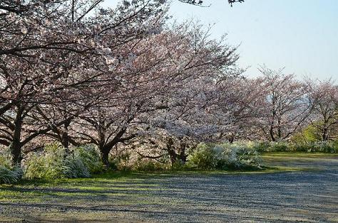 DSC_2950観音寺の桜