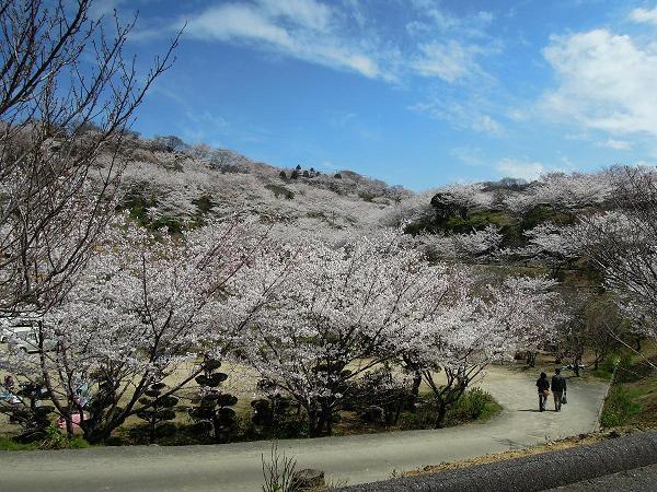 DSCN8446種松山の桜