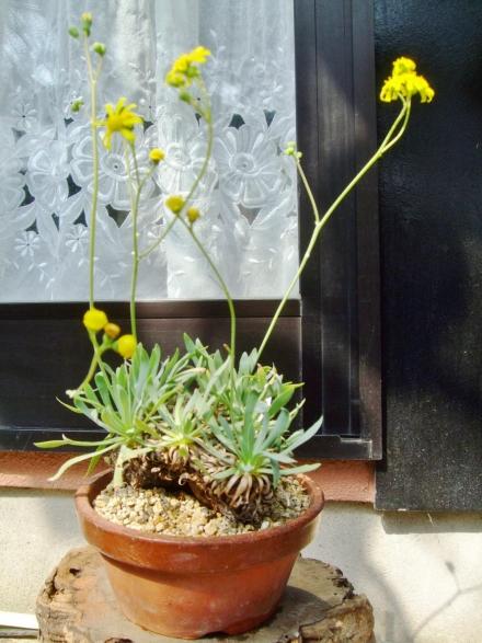 オトンナ  レトロルサ(Othonna retrorsa) 次次開花中~♪2014.03.11