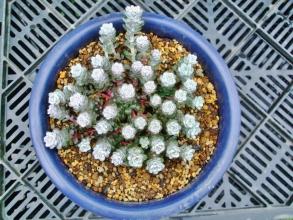 良い感じに育ってきた白雪ミセバヤを一回り大きな鉢に植え替えたら良く見ると花芽がたくさんできていました♪2014.04.21